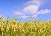 Rice paddy Stock photo [2733015] Rice