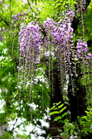 The wisteria flowers Stock photo [2733937] Rattan