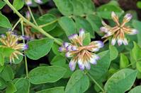 Licorice herb garden Stock photo [2735127] Herb