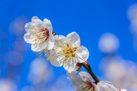 Plum blossom Stock photo [2735327] Plum
