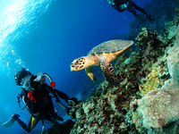Divers to set up a sea turtle and camera Stock photo [2816553] Diver