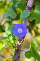 Morning glory Stock photo [2819615] Flower