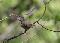 Bush warbler Stock photo [2827126] Wild