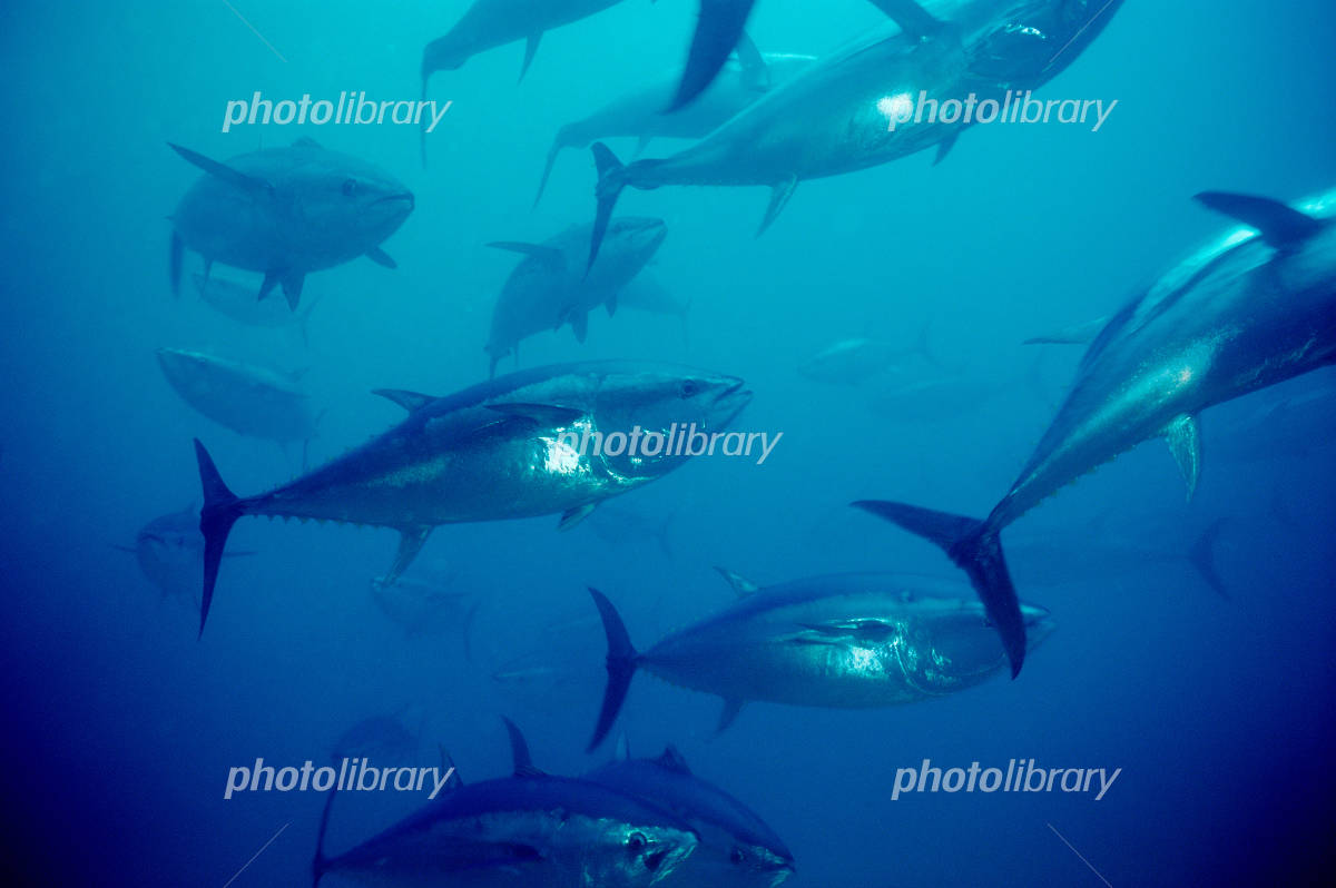 Bluefin tuna Photo