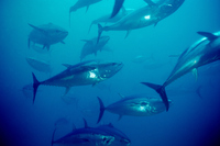 Bluefin tuna Stock photo [2901472] U/W