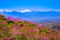 Peach flowers and Mount Fuji, Yamanashi Prefecture Fuefuki Stock photo [2901592] Mt.