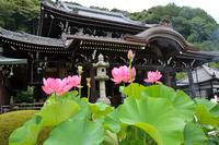 Three Muroto temple of the main hall and lotus Stock photo [2902056] Lotus