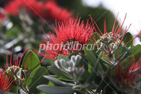 ニュージーランドの花サザンラタ...