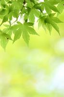 Fresh green maple Stock photo [2984093] Fresh