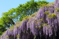 Toba of wisteria in full bloom Stock photo [2985004] Toba
