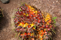 Oil palm fruit Stock photo [2985371] Oil