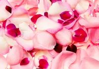 Rose petals Stock photo [2987007] Rose