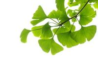 Ginkgo biloba Stock photo [2987853] Plant