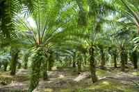 Oil palm plantations Stock photo [2988055] Elaeis