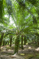 Oil palm plantations Stock photo [2988064] Elaeis