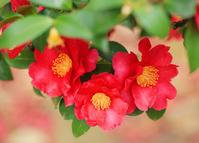 Camellia sasanqua Stock photo [2988809] Camellia