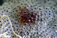 Eggs of Hokkaidō frog Stock photo [2990064] frog