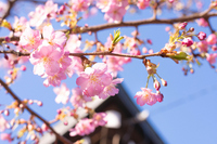 Sakura Stock photo [2990322] Spring