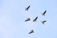 Greater White-fronted Goose flying Stock photo [2991069] White-fronted