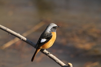 Redstart Stock photo [2993989] Wild
