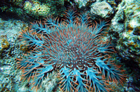 Acanthaster Stock photo [3067142] Acanthaster