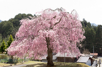 Kyoto TsuneTerusumeragitera temple weeping cherry tree Stock photo [3069328] Cherry