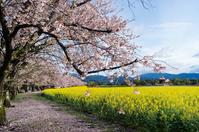 Cherry and rape of west Miyakobaru Stock photo [3070315] Saitohara