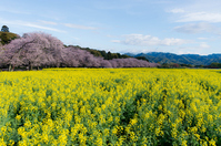 Rape and cherry west Miyakobaru Stock photo [3070320] Cherry