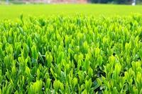 Fresh green tea leaves Stock photo [3071806] New