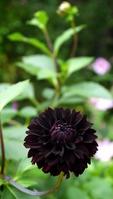 Black dahlia Stock photo [3072965] Dahlia