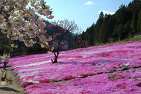 Phlox the nations Taya Stock photo [3074447] Gujo-Hachiman