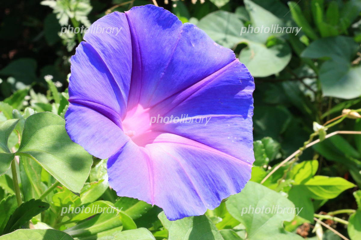 Summer of messenger morning glory Photo