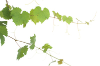 Vines and leaves of grapes Stock photo [3161824] Grape