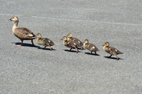 Duck parent-child crossing a road Stock photo [3163077] Birds