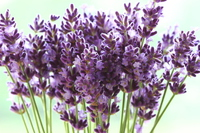 Up of the pond lavender Stock photo [3163960] Lavender
