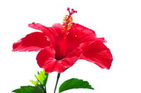 Hibiscus Stock photo [3164535] Hibiscus