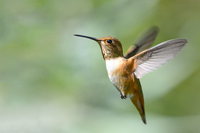Hummingbird Stock photo [3165473] Hummingbird