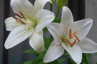 White lily of the polka dot cute rainy day Stock photo [3165519] Rain
