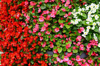 Begonia Stock photo [3168227] Begonia