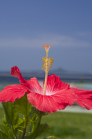 Hibiscus Stock photo [3168780] Hibiscus