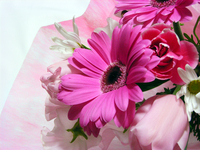 Pink flowers Stock photo [95555] Gerbera