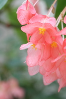 Begonia Pink Peach Stock photo [3275601] Begonia
