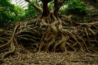 Tree of Ako Stock photo [3277019] Banyan