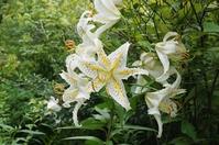 Gold-banded lily flower Stock photo [3277567] Yamayuri
