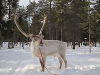 Finnish reindeer Stock photo [3277719] Reindeer