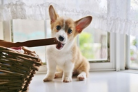 Mischief Corgi Stock photo [3278440] Puppy