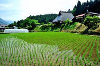 Early summer of Lok Ohara North Stock photo [3278636] Rice
