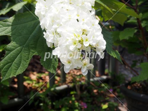白い紫陽花 縦長 写真素材 [ 3371195 ] , フォトライブラリー