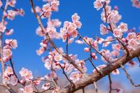 Plum flowers and blue sky Stock photo [3364044] Plum