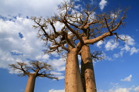 Baobab Tree Stock photo [3364267] Baobab